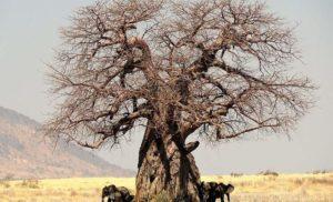 10 ciekawostek o baobabach