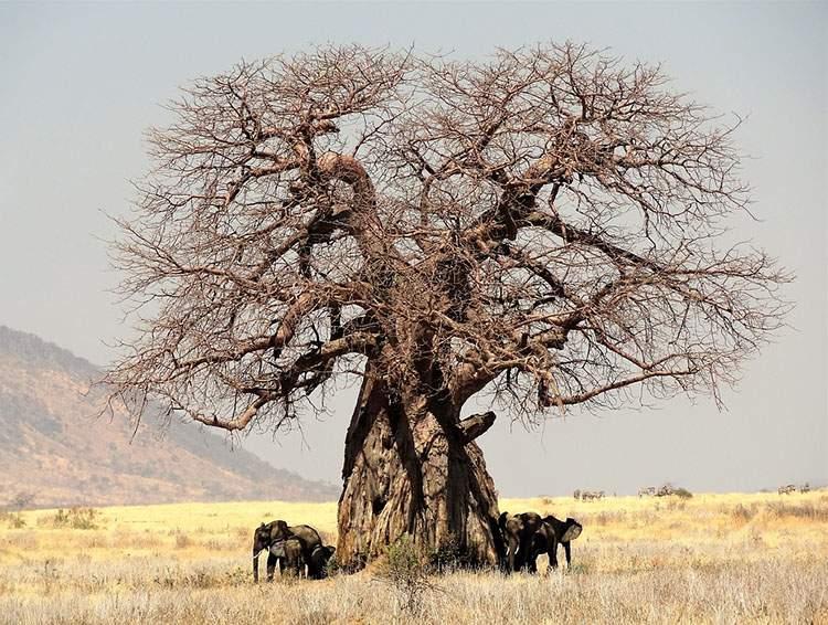 baobab ciekawostki afrykański baobaby Afryka drzewa przyroda Afryki