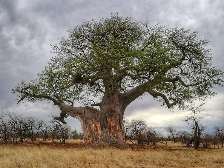 Afrykańskie baobaby usychają