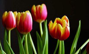 Holenderskie tulipany nazywają się jak Polacy