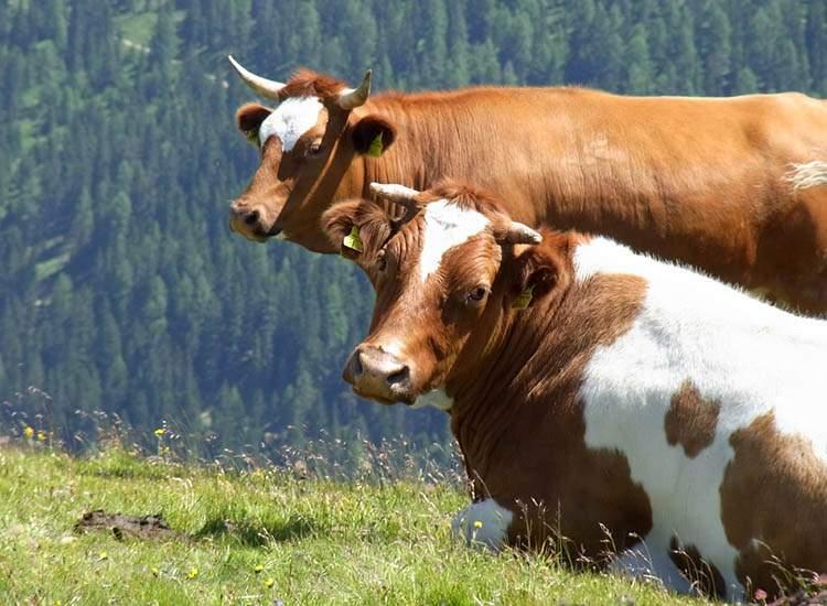 10 ciekawostek o krowach