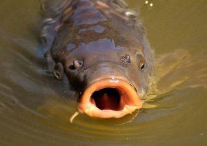 karp ciekawostki o karpiu ryby wigilia