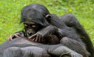 Małpy bonobo – kopulowanie na okrągło