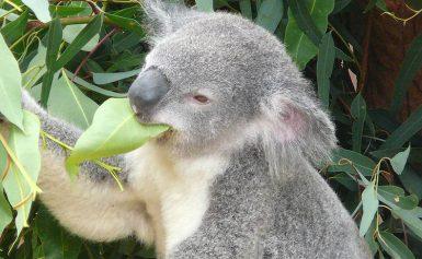 10 ciekawostek o misiu koala
