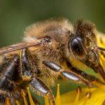 pszczoły ciekawostki o pszczołach miód