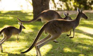 Ciekawostki o kangurach