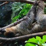 leniwiec ciekawostki o leniwcach leniwce