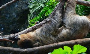 10 ciekawostek o leniwcach