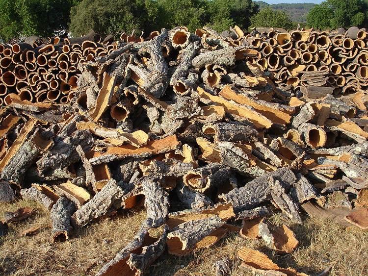 dąb korkowy ciekawostki o dębie korkowym korku drzewo korkowe