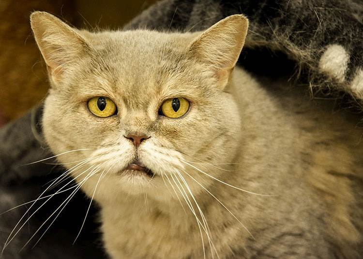 kot brytyjski ciekawostki krótkowłosy
