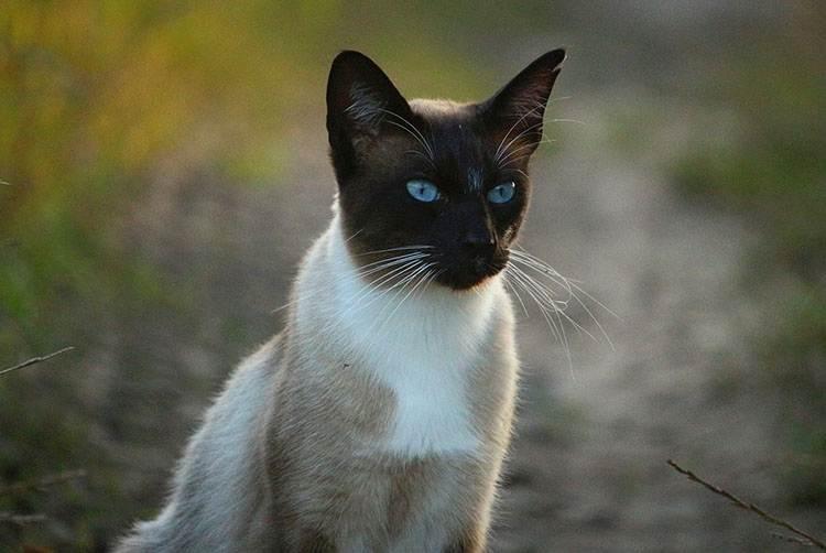 kot syjamski ciekawostki koty syjamskie
