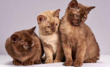 Popularne rasy kotów