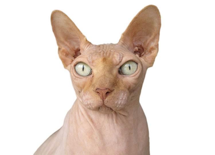 rasy kotów sphynx kot ciekawostki koty