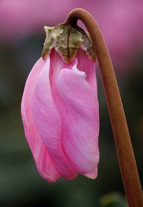 cyklamen perski rośliny Boże Narodzenie kwiaty święta