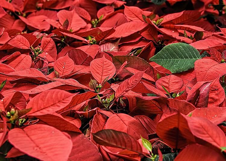 poinsecja gwiazda betlejemska rośliny Boże Narodzenie kwiaty święta