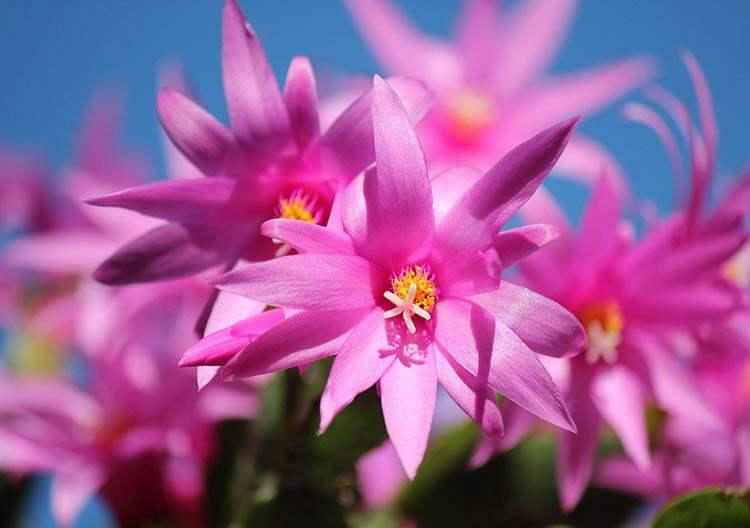 szlumbergera kaktus wielkanocny rośliny Boże Narodzenie kwiaty święta