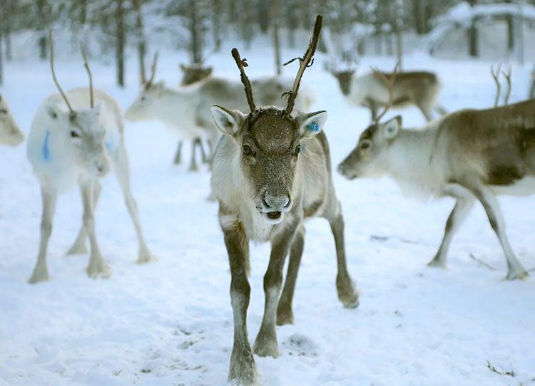 Laponia – podróż do krainy Saamów