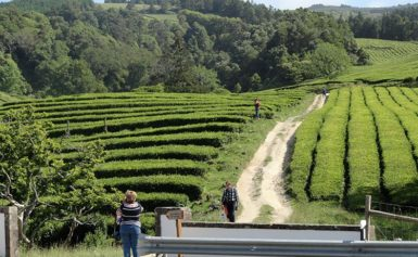 Herbata z Europy? Tak, na wyspach Azorach