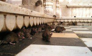 Świątynia szczurów w Indiach
