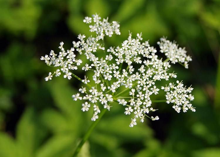 Barszcz Sosnowskiego – wroga roślina